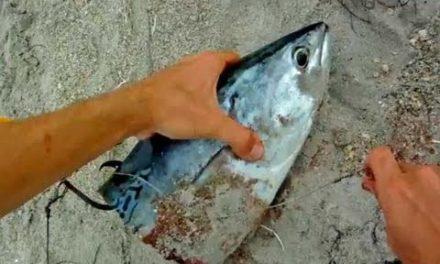 BlacktipH – Shark Fishing Tips – How to Rig Big Baits
