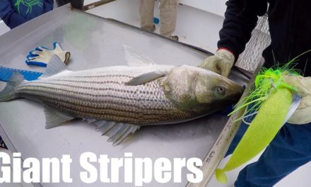 Fishing for MONSTER Striped Bass on the Chesapeake Bay!!!
