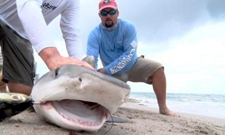 BlacktipH – Tiger Shark Surprise – ft. Flukemaster