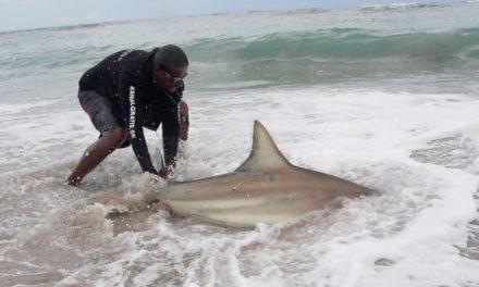BlacktipH – Bank Fishing for Blacktip Sharks – ft. Kanalgratis