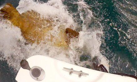 BlacktipH – Goliath Grouper Aggressive Feeding! MUST SEE!