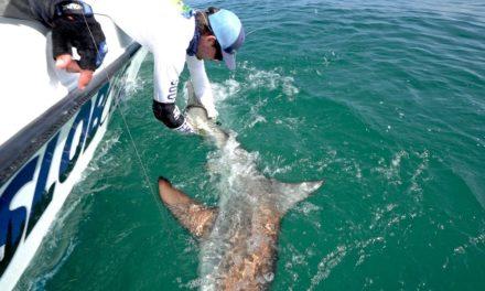 BlacktipH – Fishing for Blacktip Sharks during the Migration – ft. LakeForkGuy