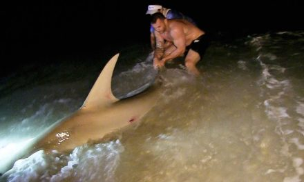 BlacktipH – Catch and release Hammerhead Shark