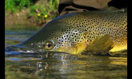 Dan Decible – Sight-Fishing Trout Rivers