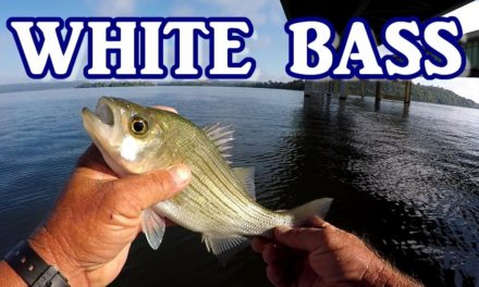 Fishing For White Bass With Live Bait
