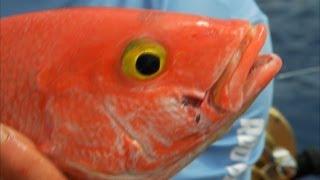 Yellow Eye Snapper Fishing Deep Dropping Bimini Bahamas