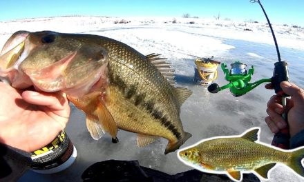 Pond Bass Fishing MADNESS w/ Live Shiners!!! (Non-Stop Action)