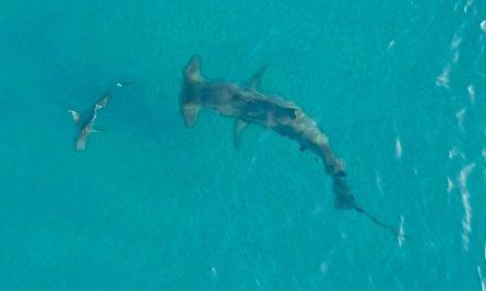 BlacktipH – Giant Hammerhead Sharks Hunting Blacktip Sharks 2