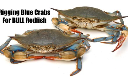 Salt Strong | – How To Rig Blue Crab for BULL Redfish (7 Must-Know Tips)