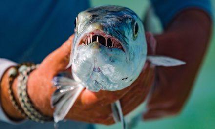Toothy Barracuda Fish and Black Drum Fishing Florida