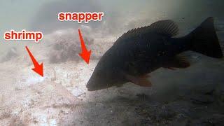 Salt Strong | – Incredible Underwater Mangrove Snapper Behavior!